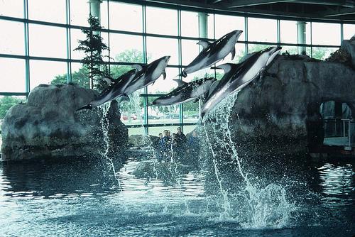 shedd-dolphin-show